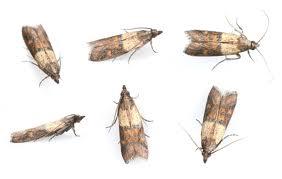 Moth exterminators