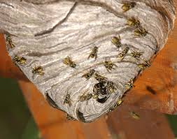 Yellow Jacket Extermination And Control