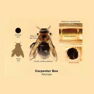 All About Carpenter Bees