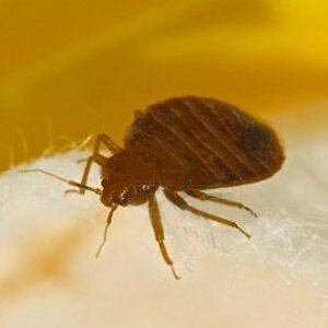 Bedbug Exterminators Get Rid Of Bed Bugs Albany Saratoga