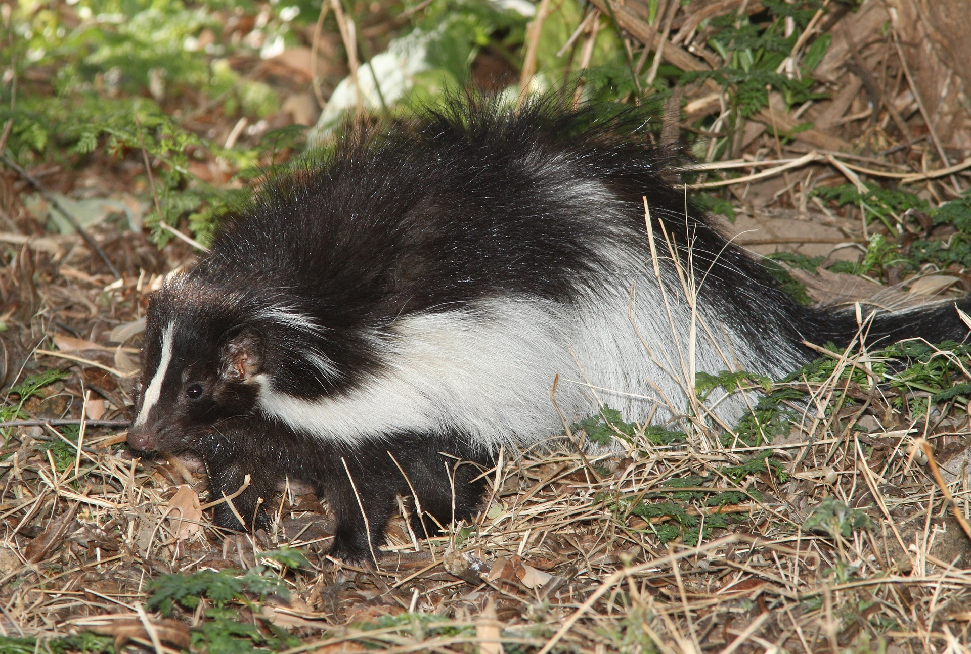 How To Get Rid Of Skunks In Upstate Ny Amp Vt Nature S Way