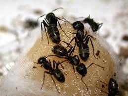 Carpenter Ant Pest Control Services