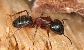 Carpenter Ant Exterminators