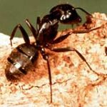 Lake Placid Pest Services- Carpenter Ants are Swarming!!