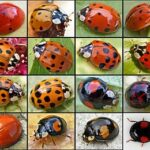 Lady Bugs or Asian Beetles