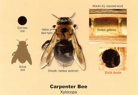 Carpenter Bee Exterminators