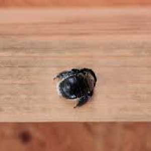 Carpenter Bees vs. Honey Bees