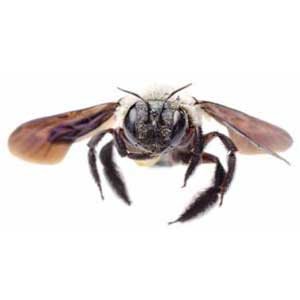 Do Carpenter Bees Sting Nature S Way Pest Control