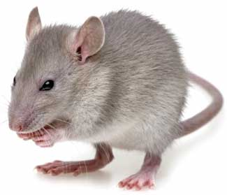Winter Pest Control to Prevent Rats and Mice From Entering Your Home