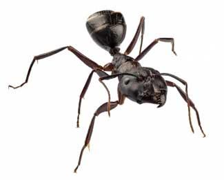Get Rid of Carpenter Ants!