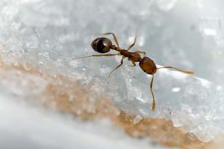 Carpenter Ants are attracted to sugar substances