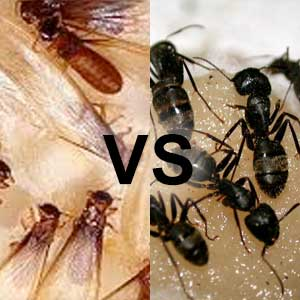 Termite vs Carpenter Ants