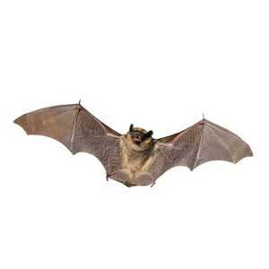 Bats FAQs