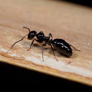 Carpenter Ant Prevention