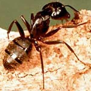 General Information on Carpenter Ants