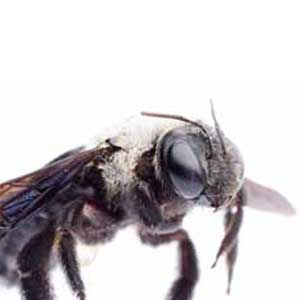 Carpenter Bee Facts