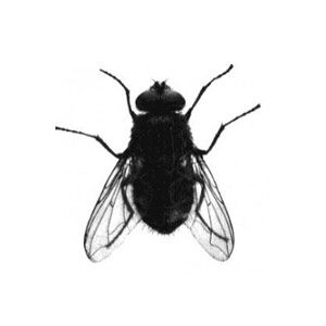 How To Rid Your Home Of Cluster Flies Nature S Way Pest