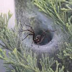Funnel Web Spiders