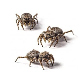 Jumping Spiders Nature S Way Pest Control