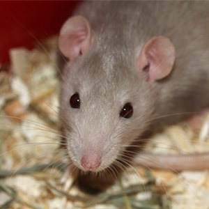 Professional Mice Exterminators in Plattsburgh, NY ...