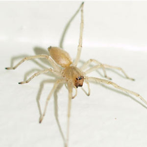 Sac Spiders Nature S Way Pest Control