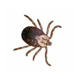 FAQ's About Ticks
