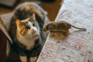 Cat Watching Mouse on Table