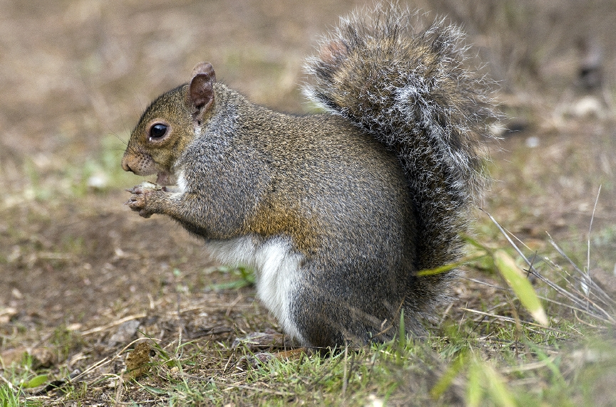 How Do I Get Rid Of Squirrels Squirrel Removal Services