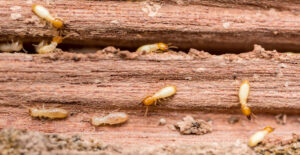 Termites and Termite Damage to Wood