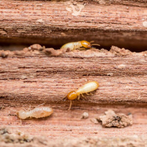 How Do I Get Rid of Termites?