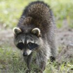 Recognizing Raccoon Droppings