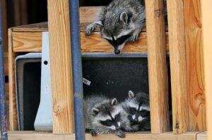 Raccoons in House