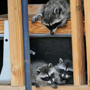 Do You Have Animals in Your Attic?