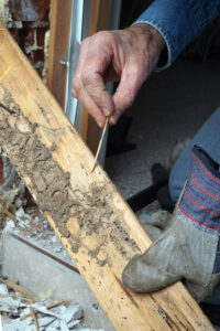 Man showing live termite damage in a home
