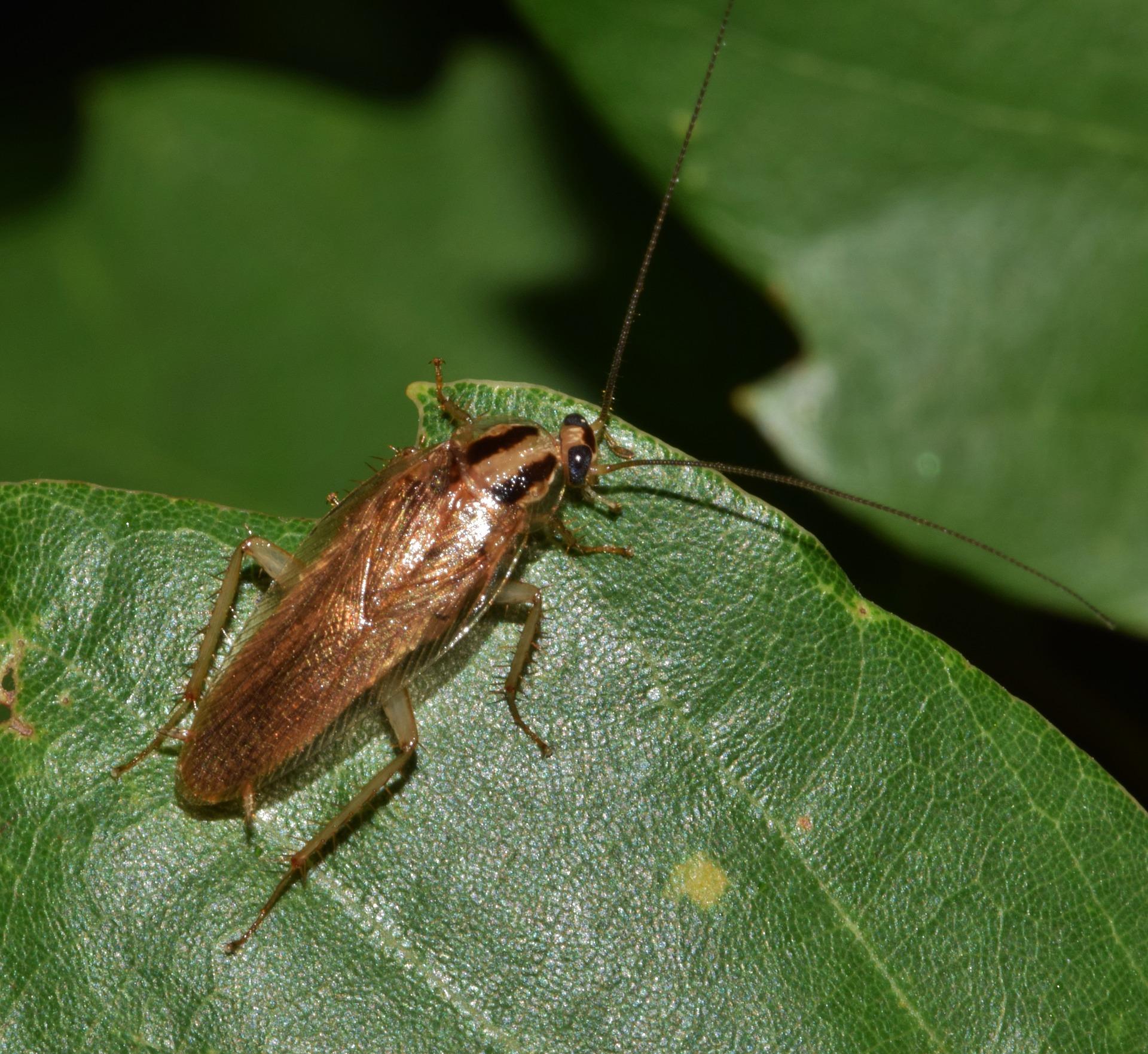 German Cockroach on a Green Leaf