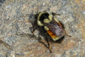 Bumble Bee on a Rock