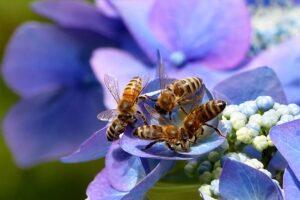 Honey Bees on a Purple Flower