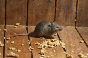 Mouse in Attic